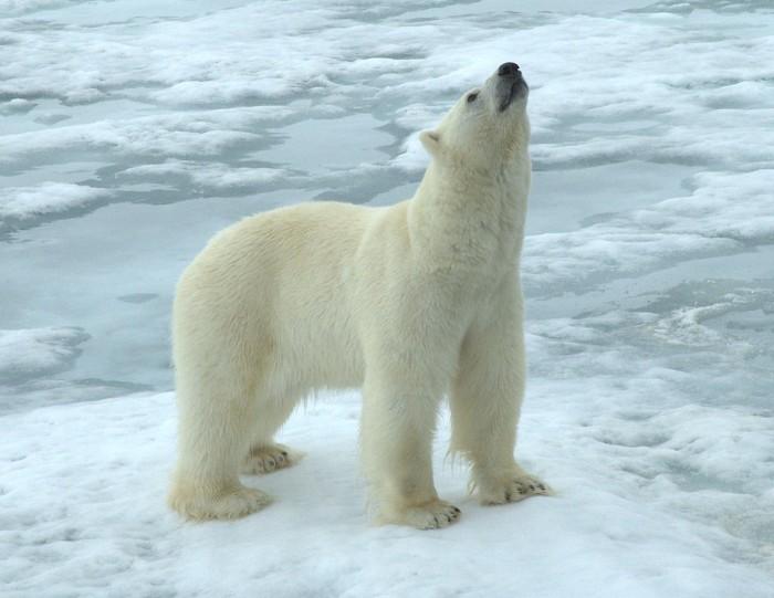 Isbjørn (Ursus maritimus)