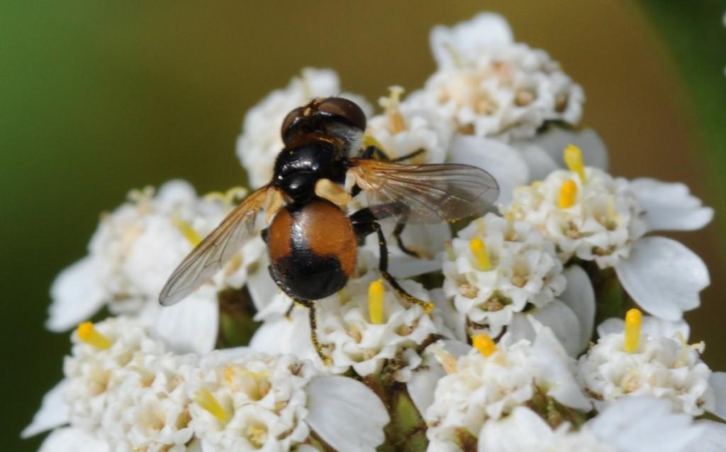 Flue (Gymnosoma)