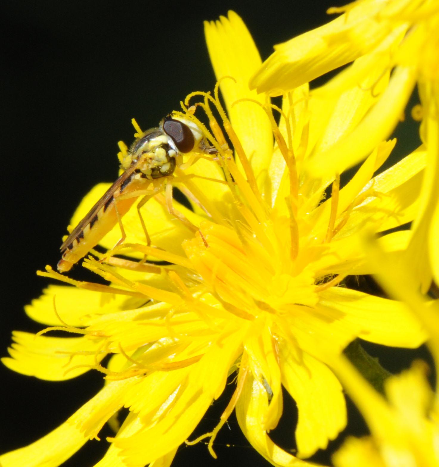 Blomsterflue (Sphaerophoria batava)