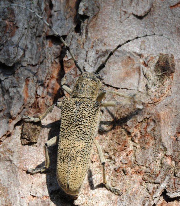 Stor ospebukk (Saperda carcharias)