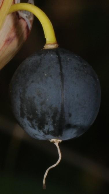 Storkonvall (Polygonatum multiflorum)