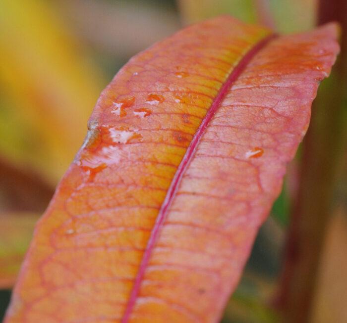 Geitrams (Chamerion angustifolium)