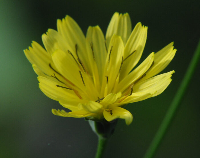 Haremat (Lapsana communis)