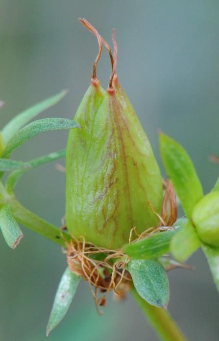 Prikkperikum (Hypericum perforatum)