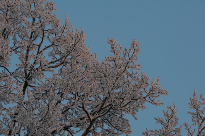 Sommereik (Quercus robur) i vinterdrakt