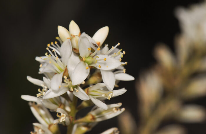 Lindmania guianensis