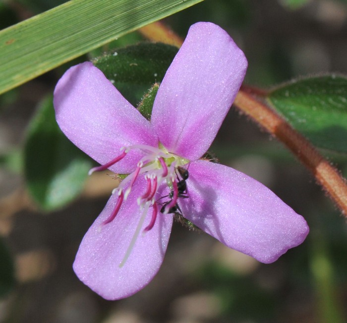 Comolia ovalifolia