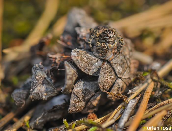 Hoppeedderkopp (Sitticus terebratus)