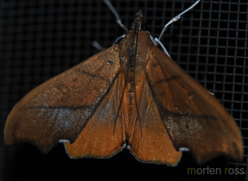 Tandayapa Lepidoptera 04