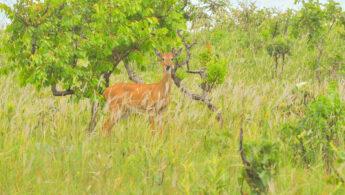 Pampas deer (Ozotoceros bezoarticus)