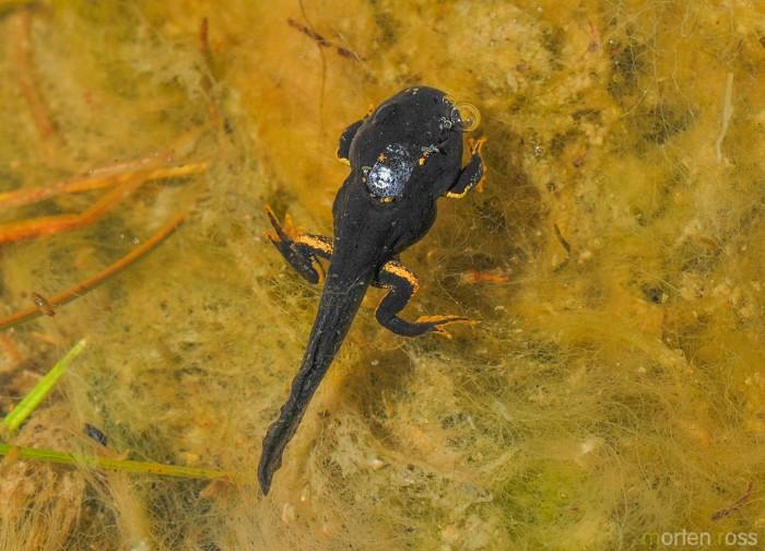 Altiplano toad 01