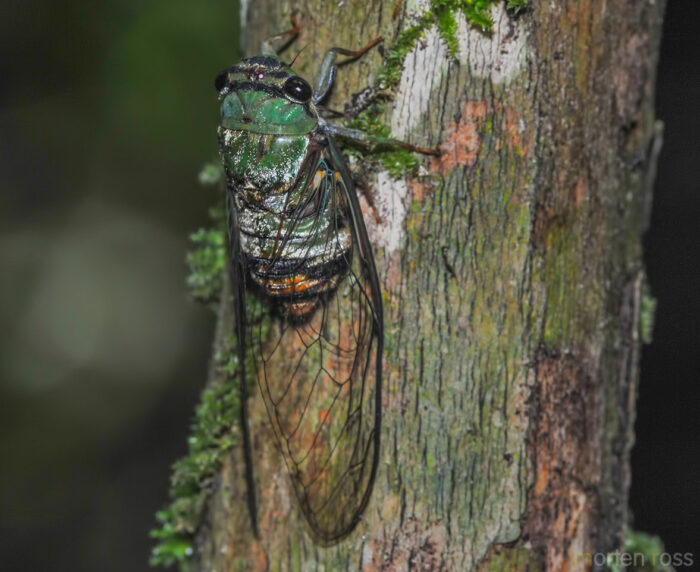 Madidi cicada 02