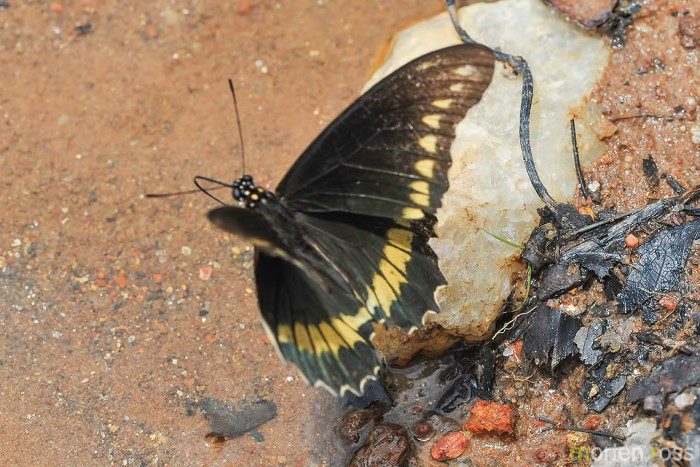 Polydamas Swallowtail (Battus polydamas)