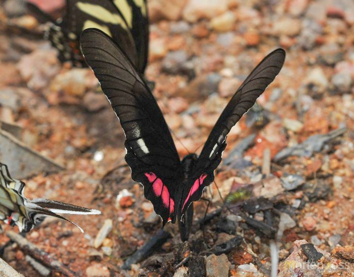 Ruby-spotted Swallowtail (Heraclides anchisiades)