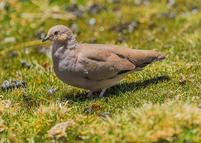 Golden-spotted Ground Dove (Metriopelia aymara)