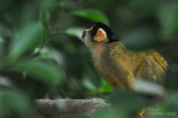 Black-headed squirrel monkey (Saimiri boliviensis)