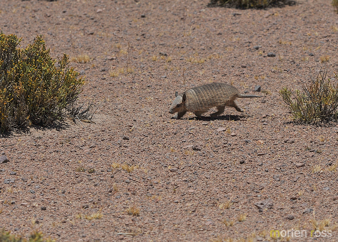 Andean hairy armadillo (Chaetophractus nationi)