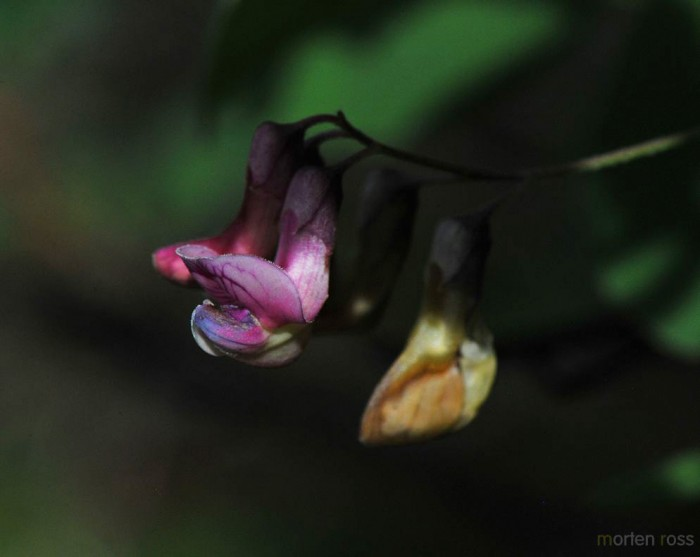 Svarterteknapp (Lathyrus niger)