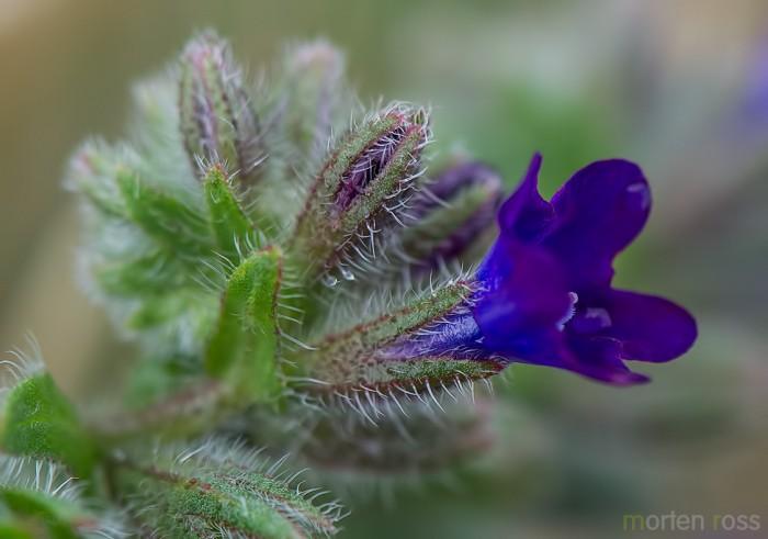 Oksetunge (Anchusa officinalis)