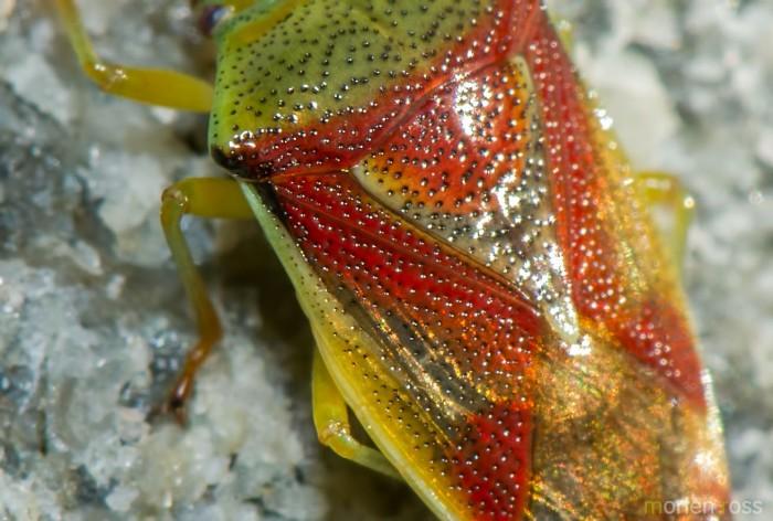 Grønnløvtege (Elasmostethus interstinctus)