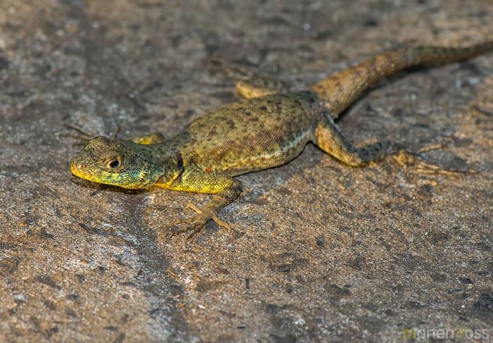 Amazon Lava Lizard (Tropidurus torquatus)