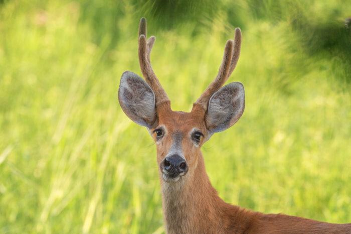 Marsh Deer (Blastocerus dichotomus)