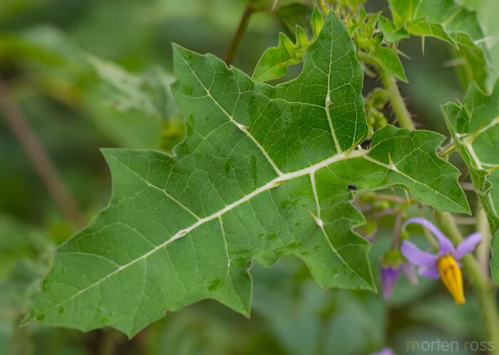 Solanum acerifolium width=