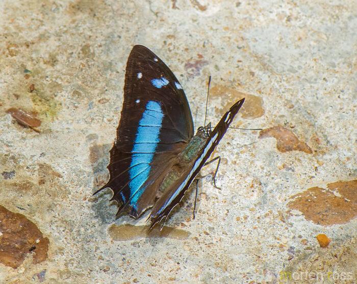 Amazon Beauty   (Baeotus aeilus)