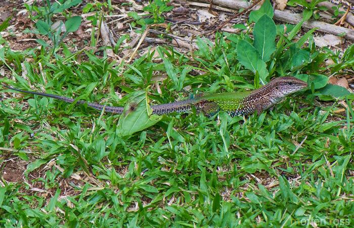 Cristalino Jungle Lodge lizard 01
