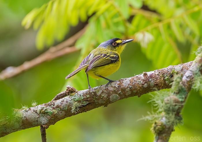 Yellow-lored Tody-Flycatcher (Todirostrum poliocephalum)