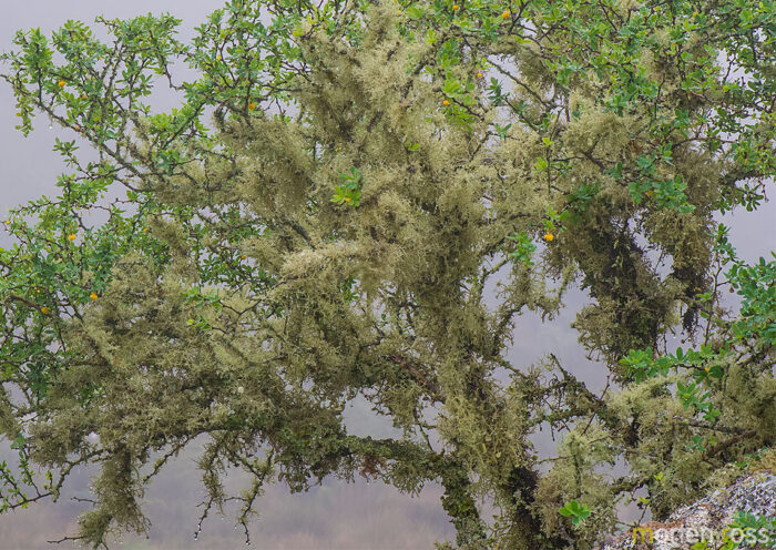 Itatiaia lichen (Usnea sp)