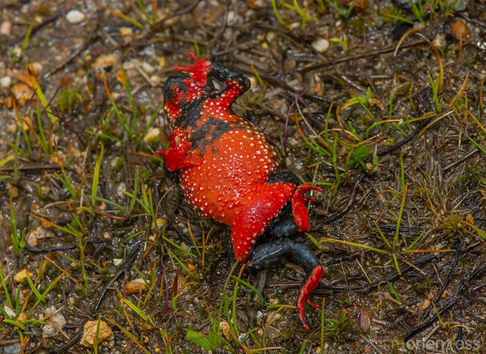 Maldonada Redbelly Toad (Melanophryniscus moreirae)
