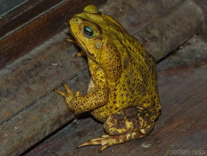 Itatiaia toad