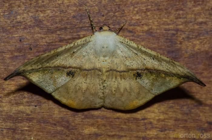 Itatiaia lepidoptera 15