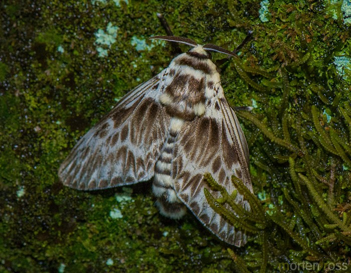 Itatiaia lepidoptera 22