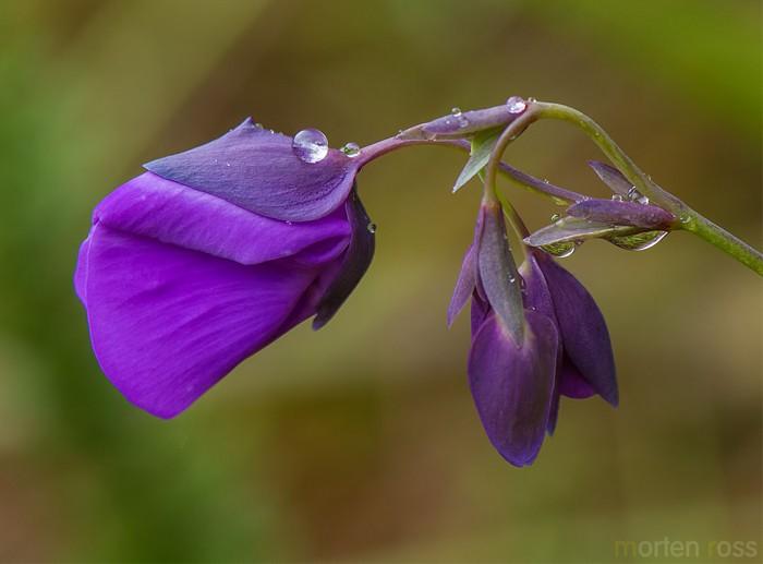 Bladderwort (Utricularia reniformis)