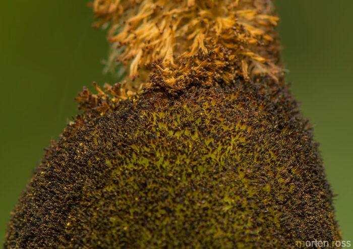 Bred dunkjevle (Typha latifolia)