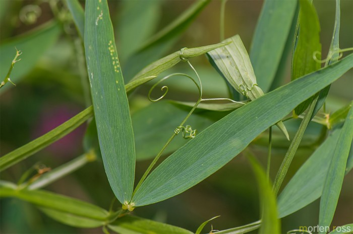 Skogflatbelg (Lathyrus sylvestris)