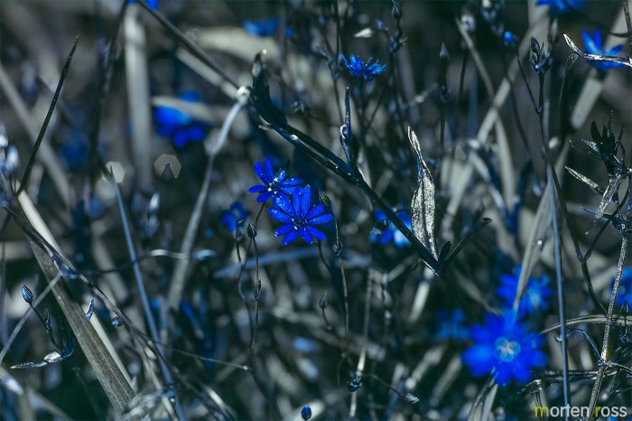 Gresstjerneblom (Stellaria graminea) UV