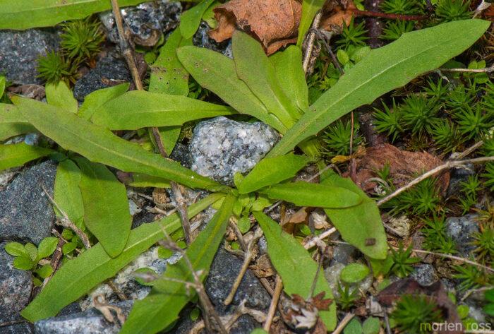 Åkergull (Erysimum cheiranthoides)