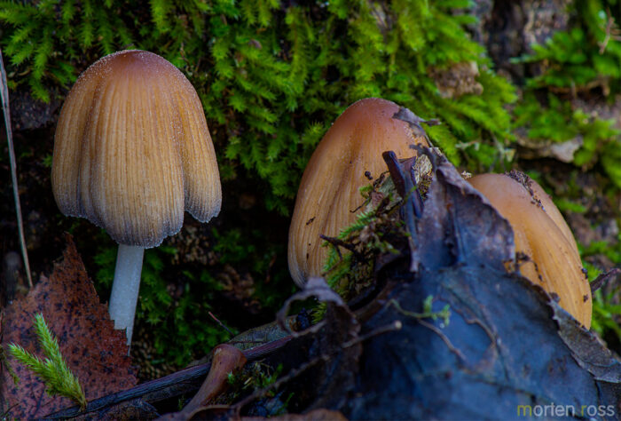 Glimmerblekksopp (Coprinellus micaceus
