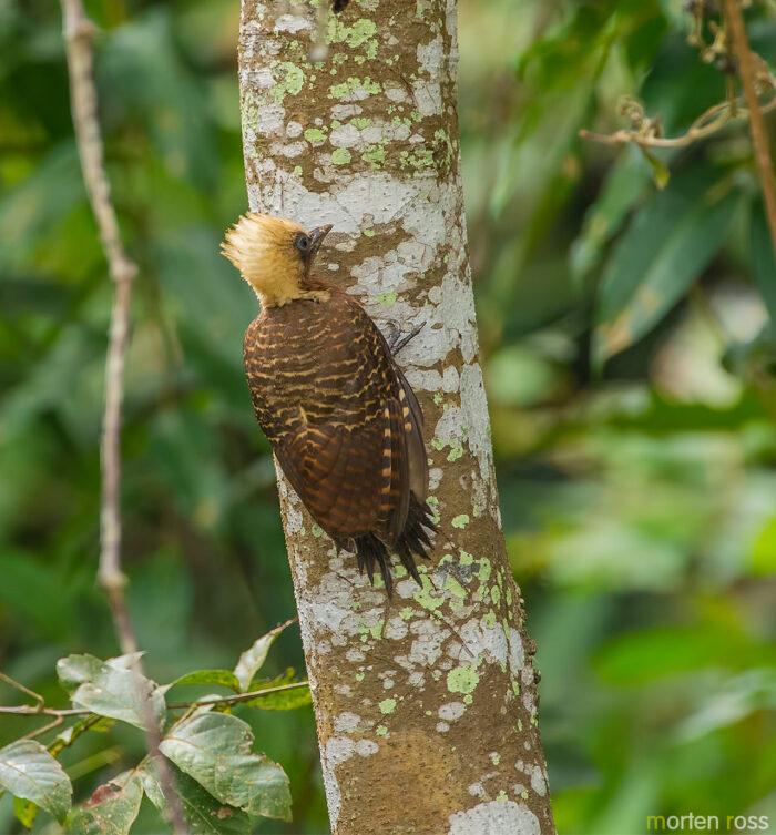 Pale-crested Woodpecker (Celeus lugubris)