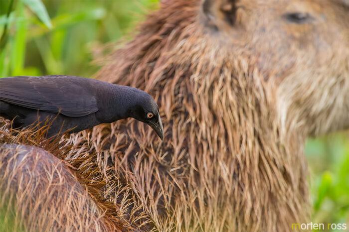 Giant Cowbird (Molothrus oryzivorus)