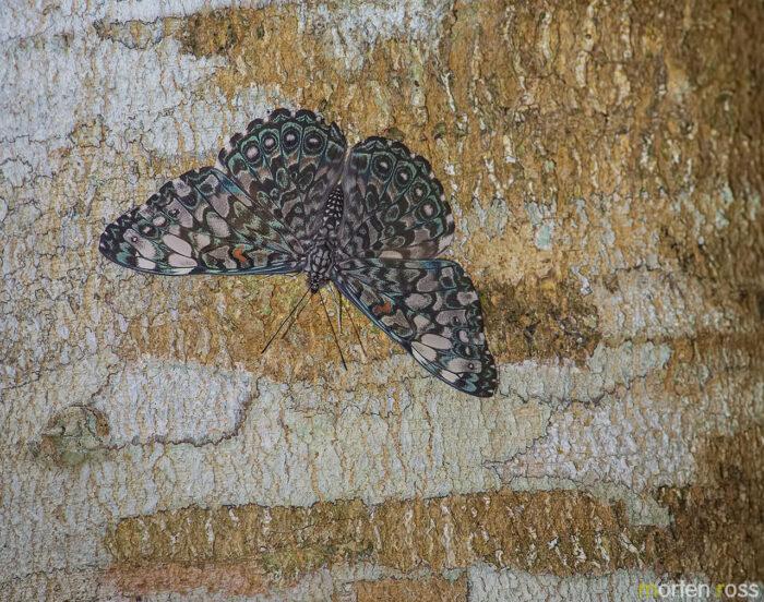 Variable Cracker (Hamadryas feronia)