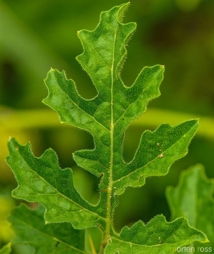 Sticky Nightshade (Solanum sisymbriifolium)