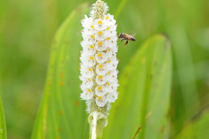 Pickerel Weed (Pontederia parviflora)