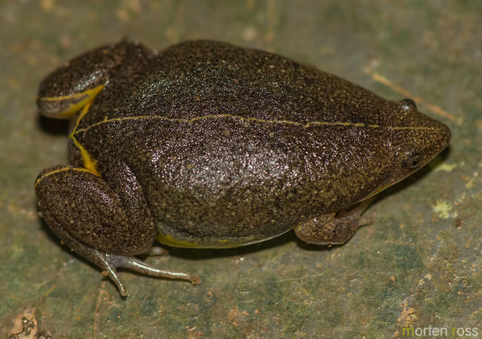 Oval Frog (Elachistocleis bicolor)