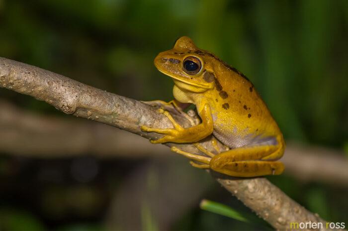 Chaco tree frog (Hypsiboas raniceps)