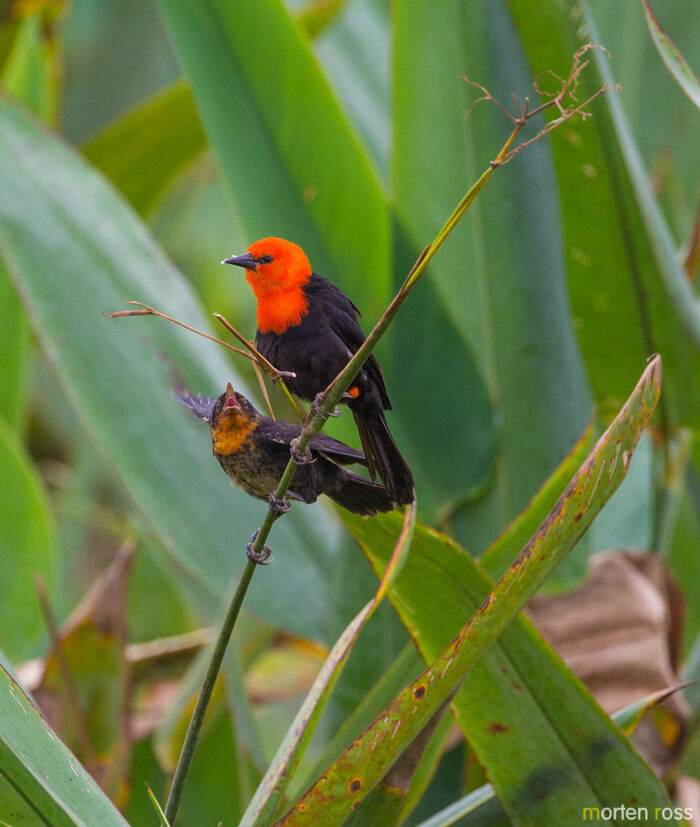 Scarlet-headed Blackbird (Amblyramphus holosericeus)