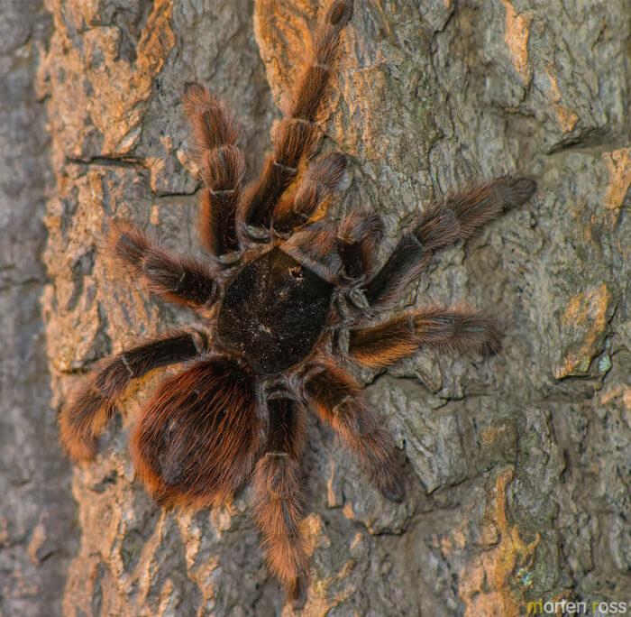 Tarantula (Lasiodora sp)